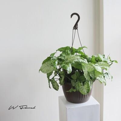 """10"""" Hanging Basket Syngonium"""