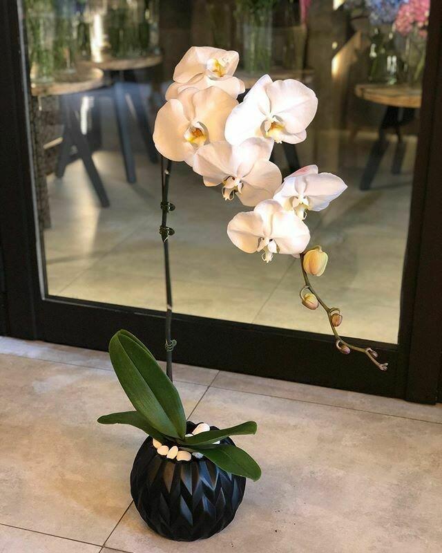 Phalaenopsis Black pot