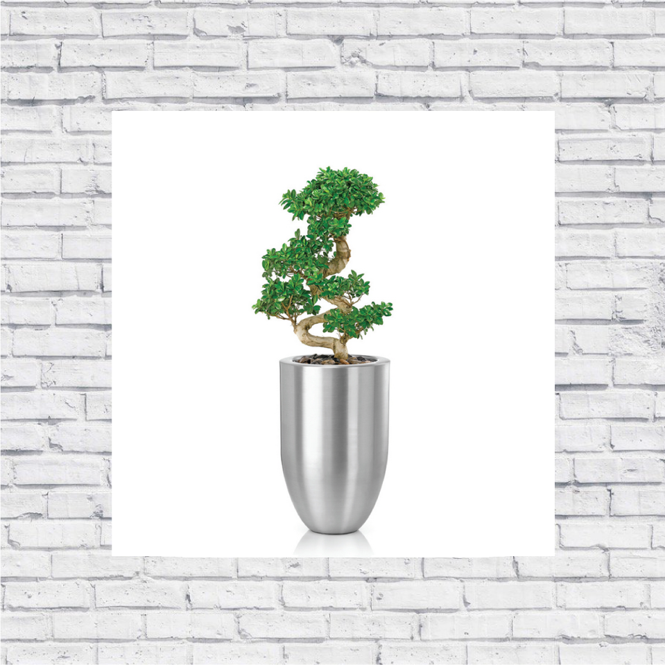 Ficus Macrocarpa Shape