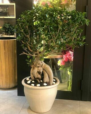 7years old Bonsai Tree Pot