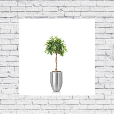 Ficus Amstel King Close Braid