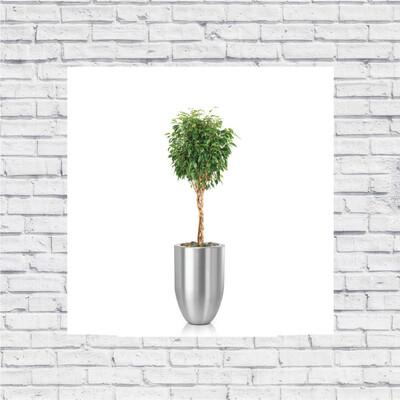 Ficus Benjamina Closed Braid