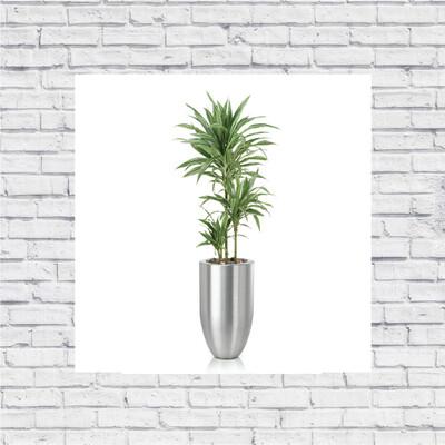 Dracaena White Stripe