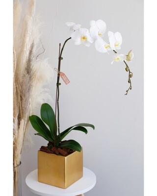 Phalaenopsis White With Gold Vase