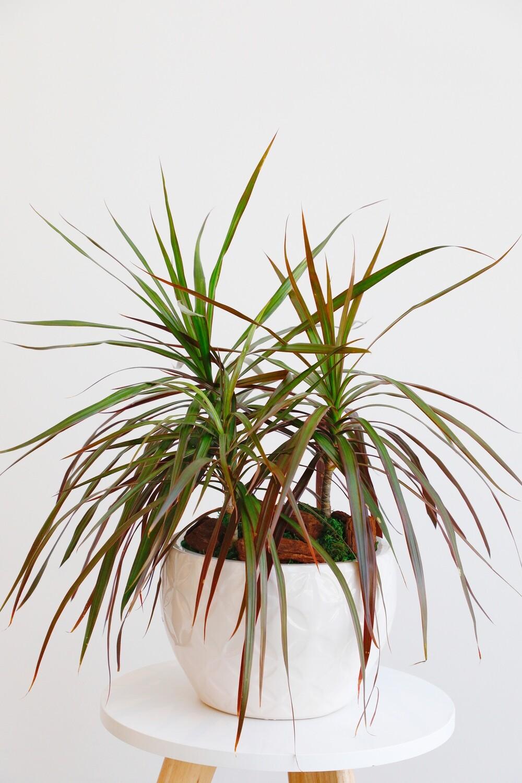 Dragon Tree ( Dracaena Reflexa var. angustifolia) With Vase