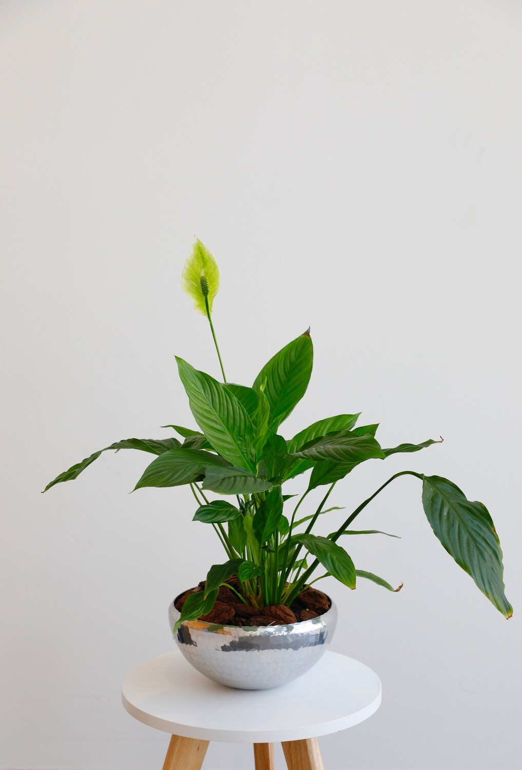 Spathiphyllum Plant With vase