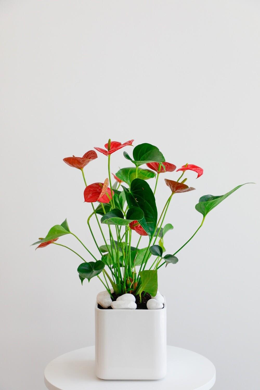 Anthurium With White Vase