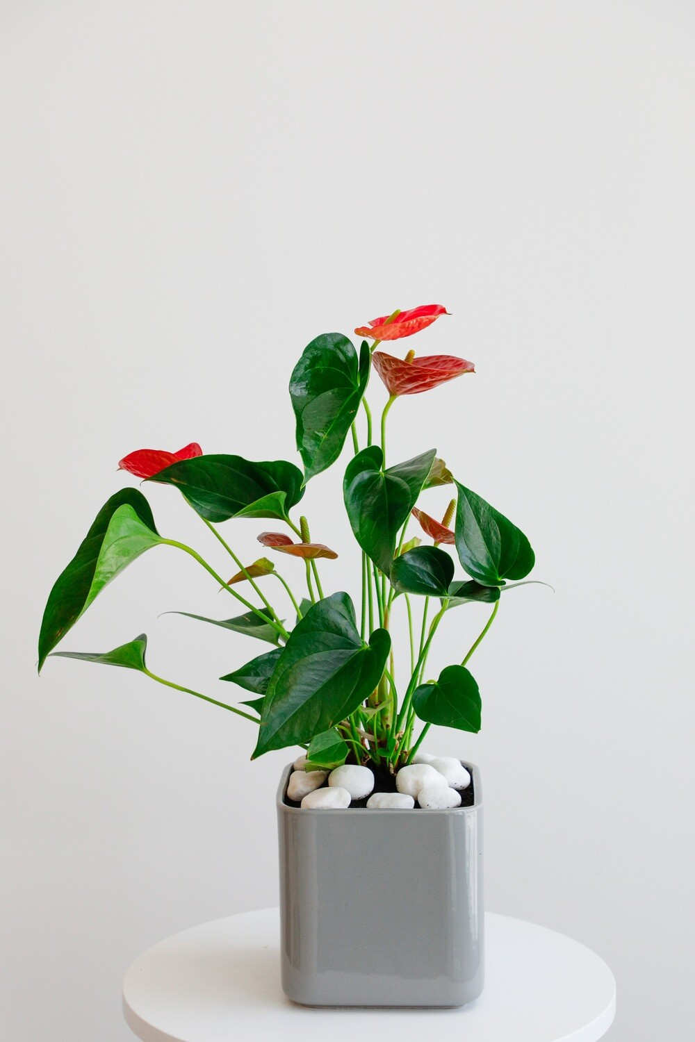 Anthurium With Gray Vase