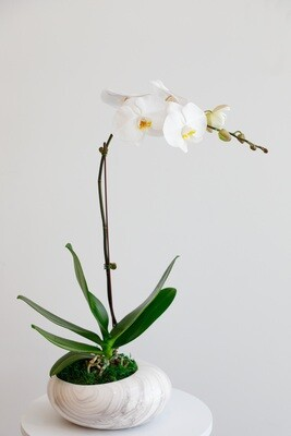 Phalaenopsis With MarBle Vase