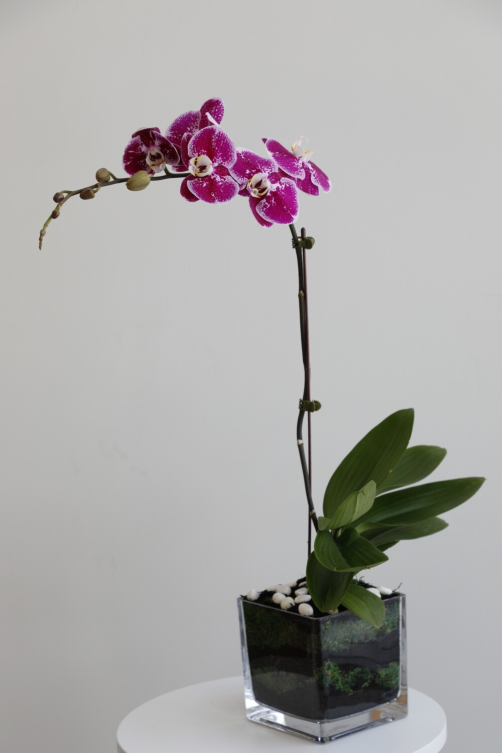 Phalaenopsis Purple With Square glass
