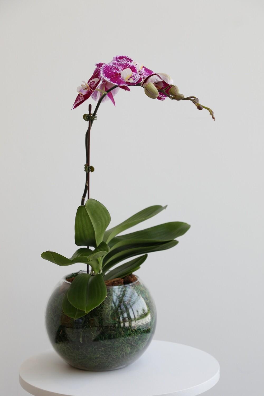 Phalaenopsis Purple With Circle Glass