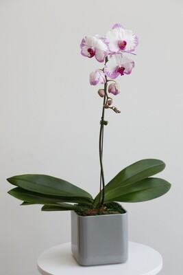 Phalaenopsis Pink With Gray Square Vase