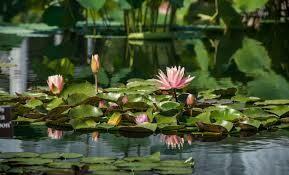 Водяные лилии в стиле Клода Моне