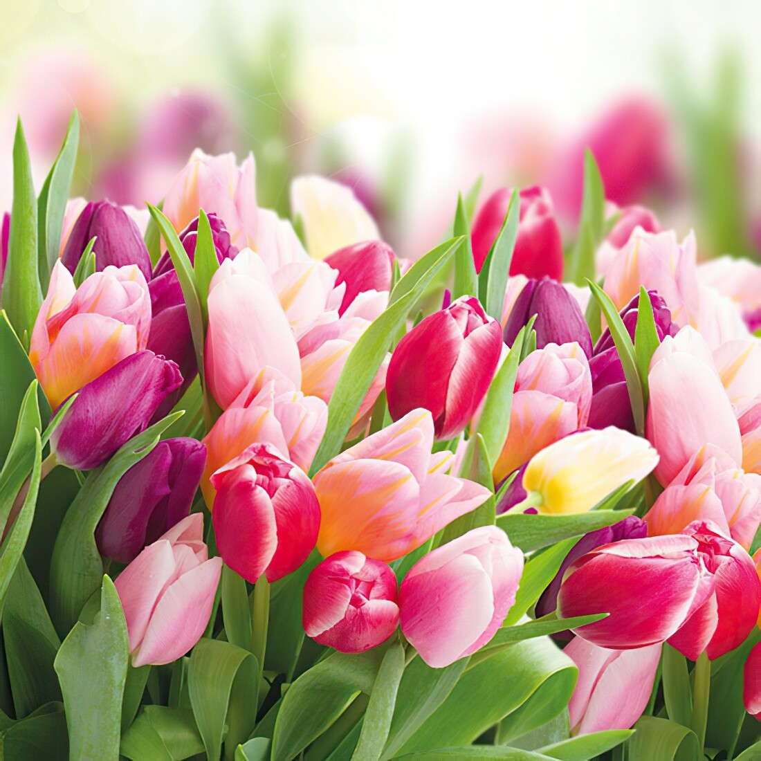Decoupage Paper Napkins - Floral - Glorious Tulips (1 Sheet)