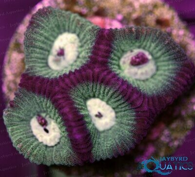 Bi Colored Favia