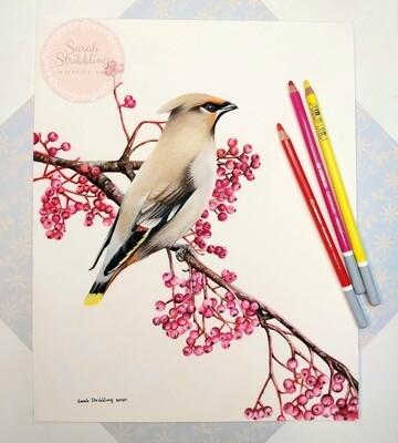 Waxwing pastel drawing