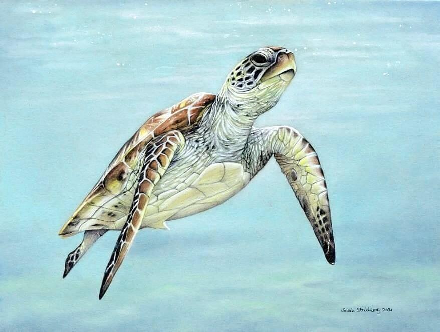 Sea Turtle in colour pencils