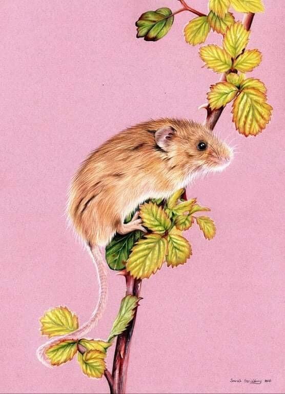 Harvest mouse colour pencil drawing