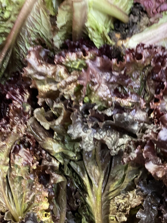 Lechuga morada orgánica