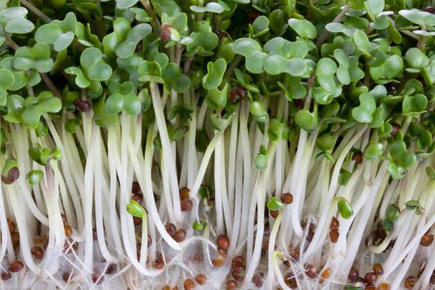 Germinado de brocoli