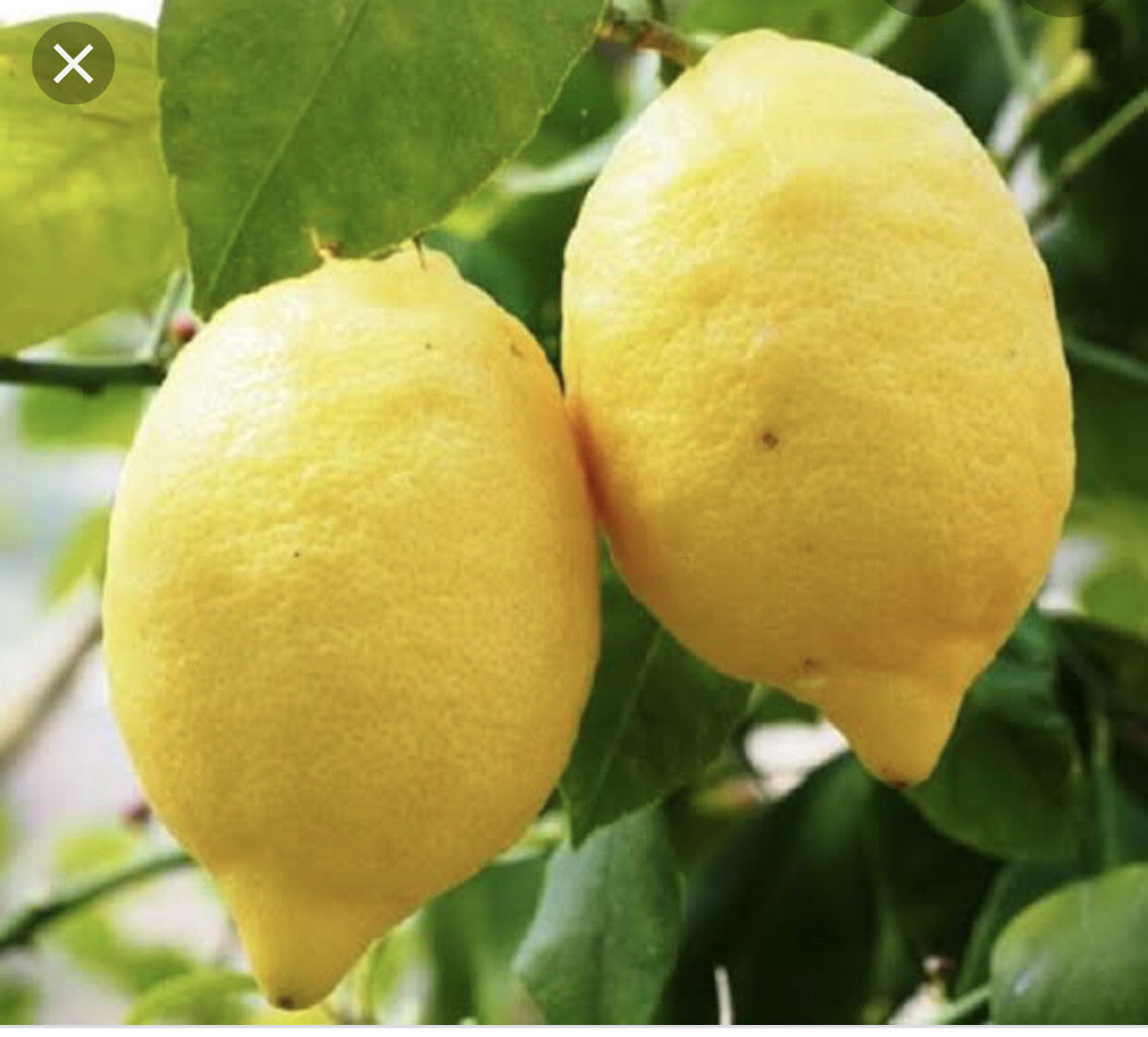 Limon Eureka x kilo