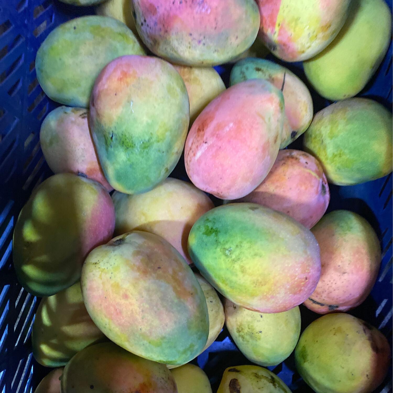 Mango jumbo planta edward x kilo