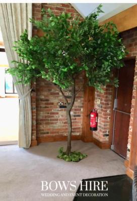 280cm Ficus Trees