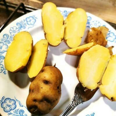 Картофель Желтомясый Дикий Озетт - Wild Ozette Potatoes  - (20 клубней)