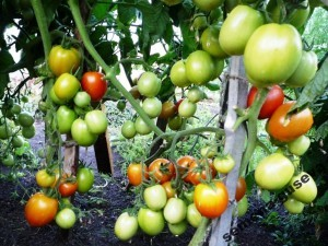 Помидоры — Урожайные Гусева