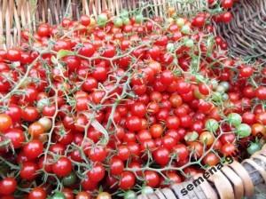 Дикие сладкие помидоры Свит Пиа