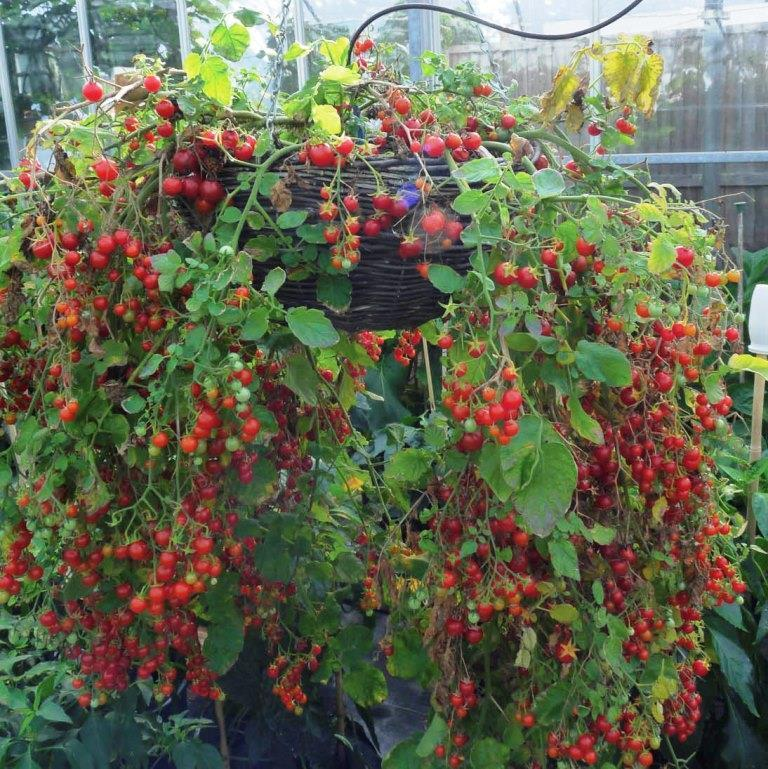 Помидоры - Cherry Cascade - Вишнёвый Водопад