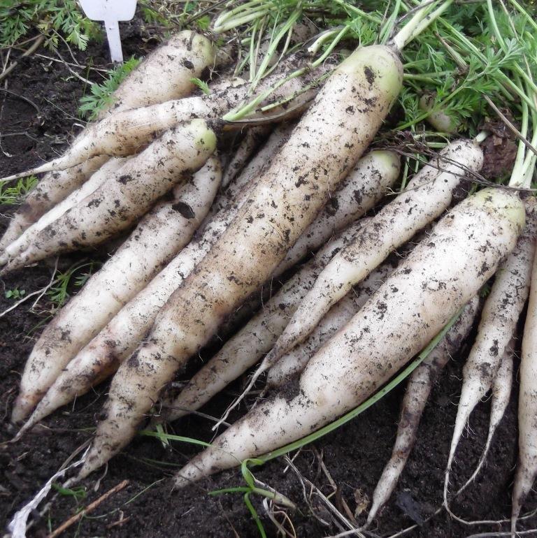Римская Белая Морковь - Roman White Carrot