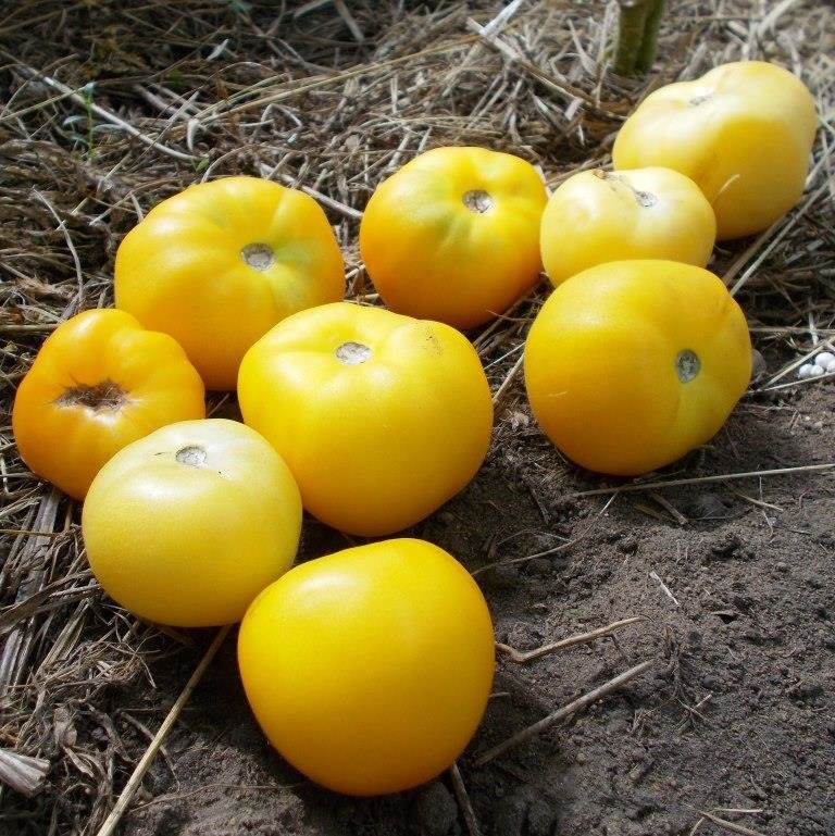Помидоры Персик От Зия Соннабенд  - Zea Sonnabend Peach Tomato