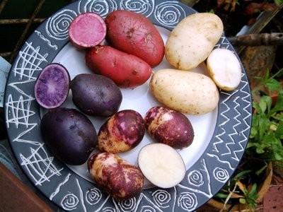 Картофель Гибрид Multi-colored potato