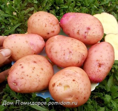 Картофель Сарпо Мира  - Sarpo Mira Potatoes - (20 клубней)