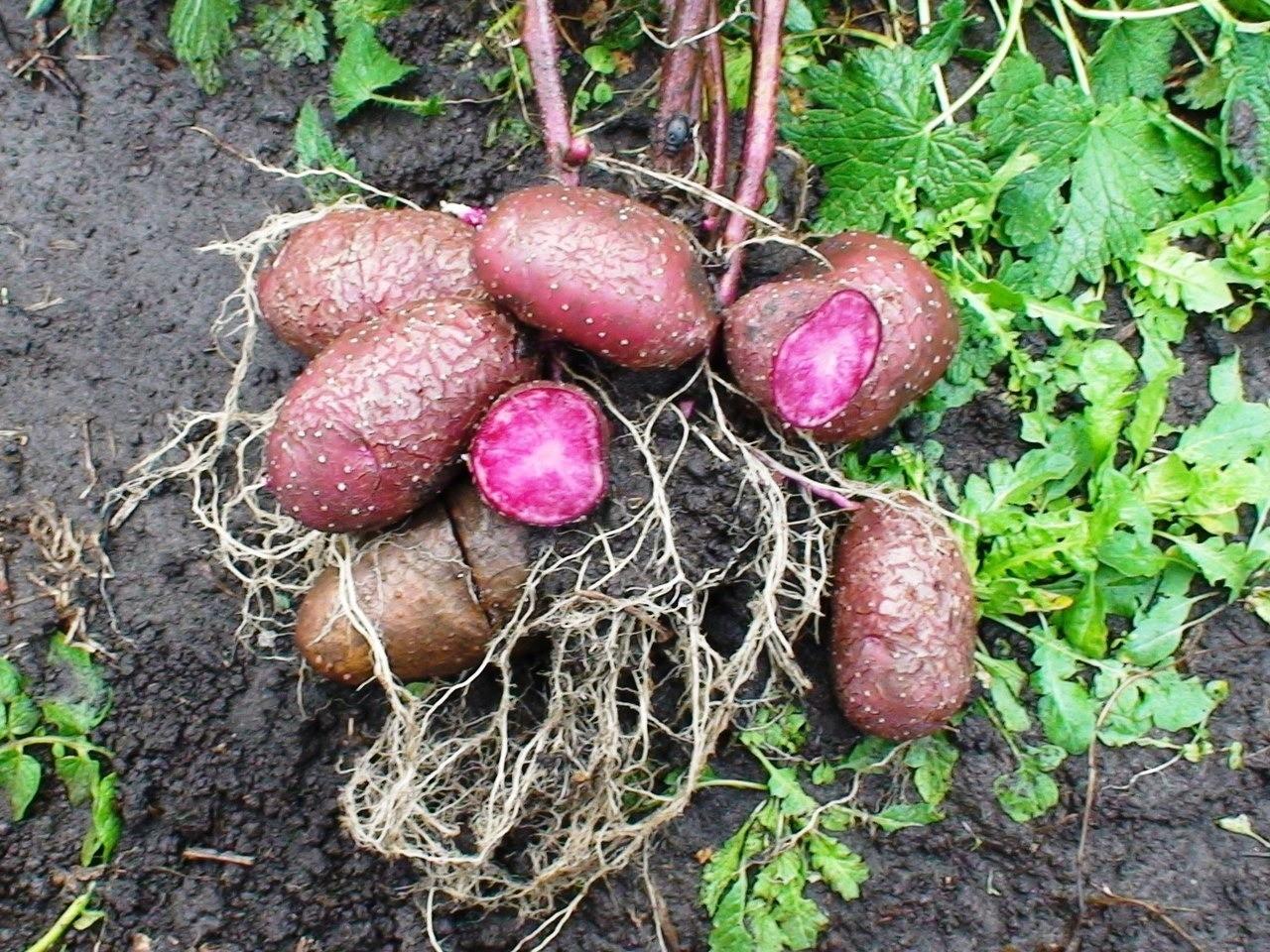 Семена Картофеля Highland Burgundy Red (Горный Бургундский Красный)