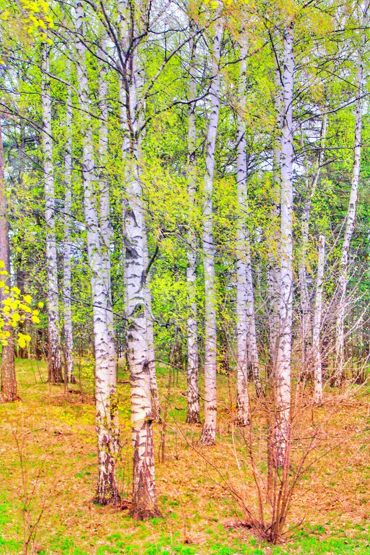 Birch Forest, Helsinki Finland
