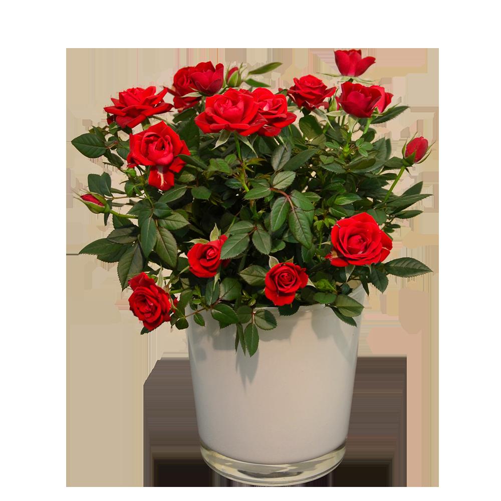 Črepníková ruža v keramickom kvetináči