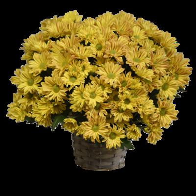 Tigrované chryzantémy