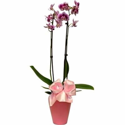 Orchidea v črepníku Phalaenopsis