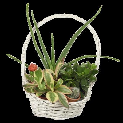 Aloe a sukulenty v košíku