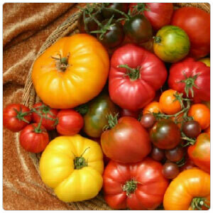 Organic Heirloom Tomato Sampler--Half Flat-8 plants