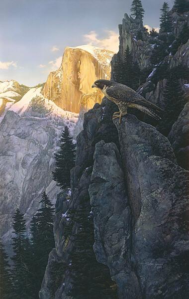 Return of the Falcon - Peregrine Falcon