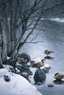 Quiet Rain - Canada Geese