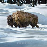Breaking The Trail - Buffalo