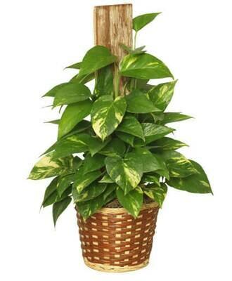 Ivy Golden Pothos