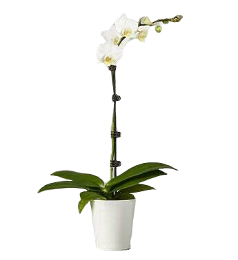 Phalaenopsis Orchid