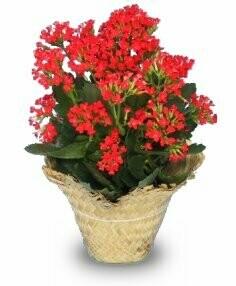 Blooming Kalanchoe