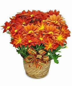 Flowering Mum Plant