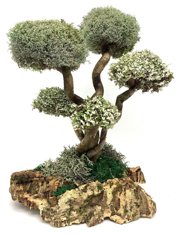 Дерево из Цетрарии - развивающаяся лиана